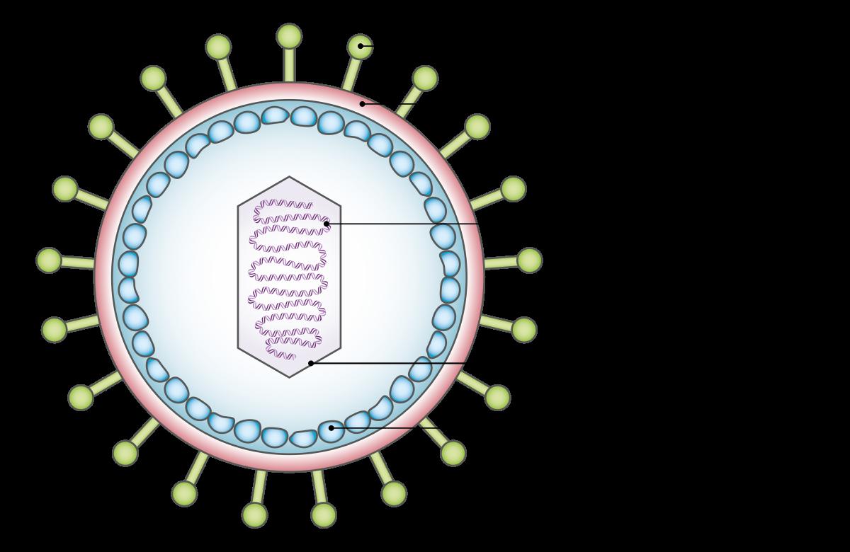 onkogén papillomavírusok)