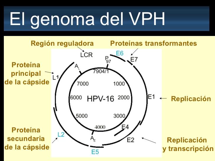 HPV 16 humán papillomavírus))