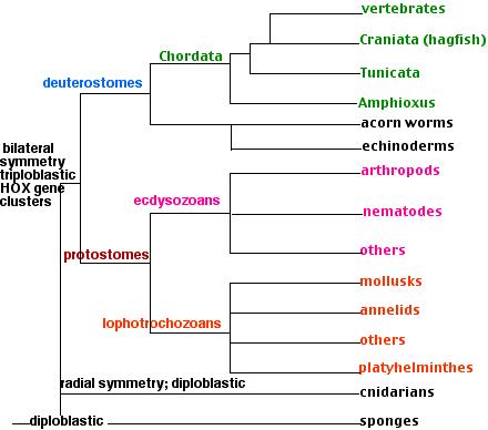 ecdysozoans platyhelminthes