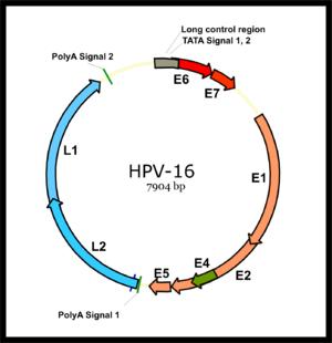 hpv papillomavírus emberben