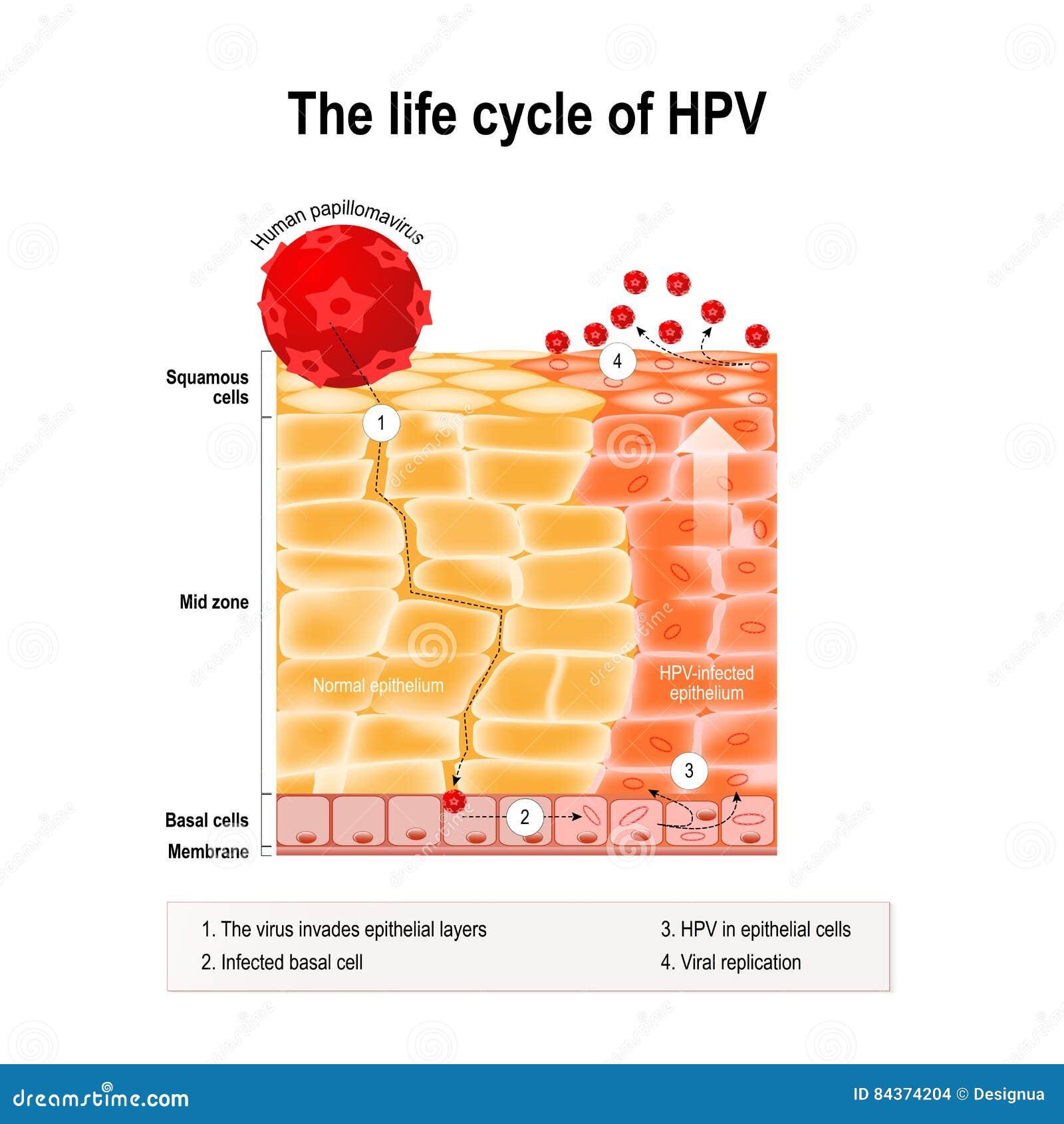 papilloma vírus 4