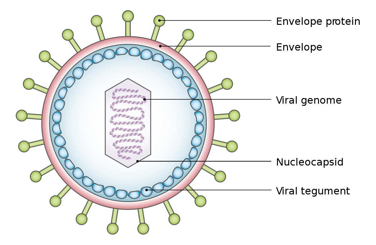 szemölcsök vírussal szembeni immunitás