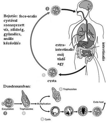 széklet giardiacryptosporidiume histolytica antigénekkel)
