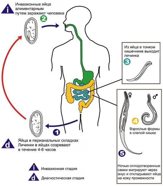 enterobius vermicularis biológiai ciklus)