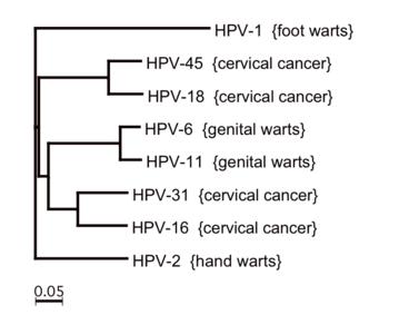 humán papillomavírus genotípusok acuminata papilloma