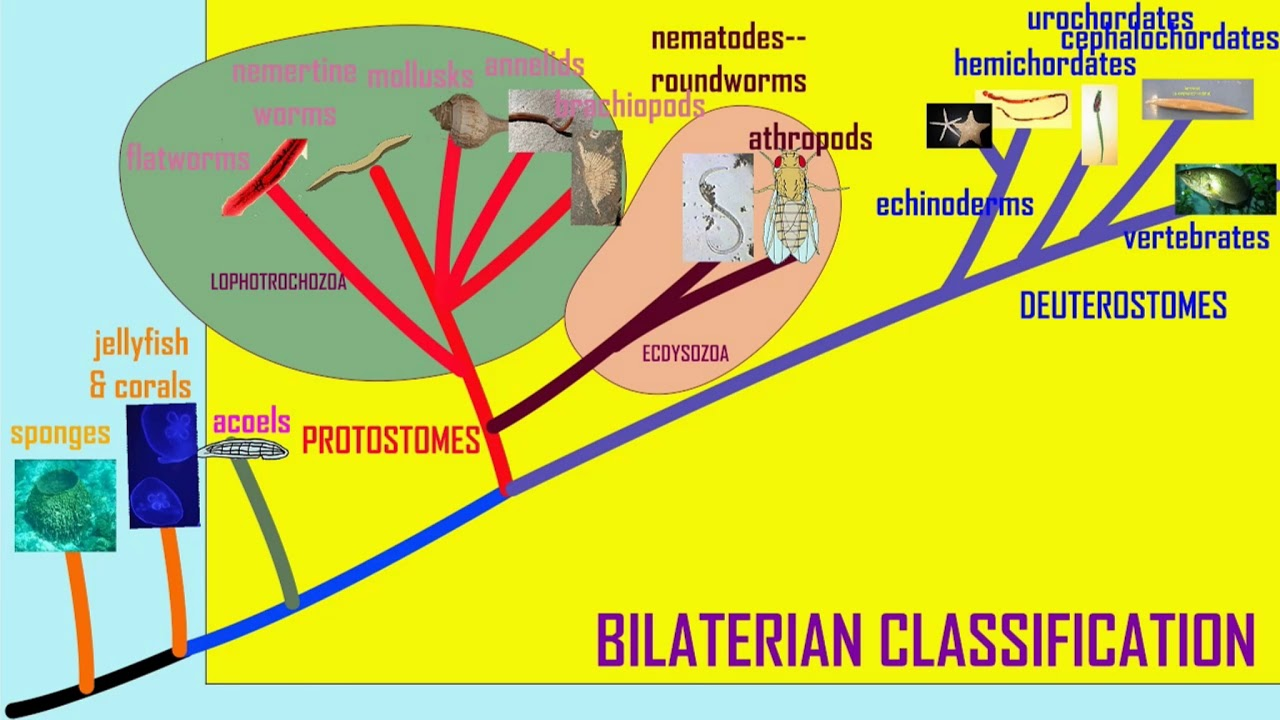 platelhelminthes coelom)
