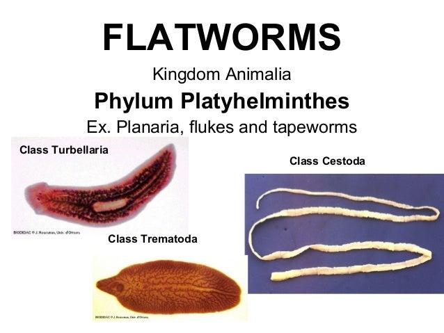 Platyhelminthes tulajdonságok listája