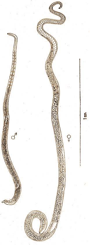 Parazita vagy fereg. Fereg larvak