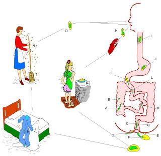 fertőzött enterobiosis)