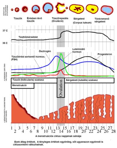 papilloma vírus és menstruációs ciklus