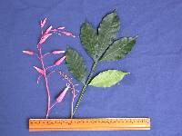 Quassia kéreg paraziták - Mondj nekem egy jó gyógymódot a férgekről Quassia fa paraziták