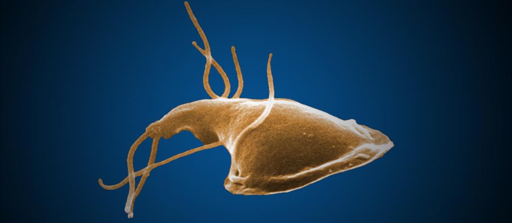 paraziták és giardia készítmények nyomait a condyloma cauterizációja után