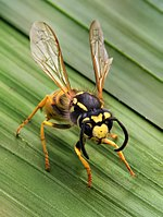 hymenoptera paraziták)