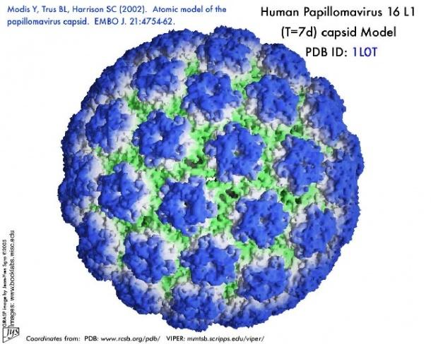 a papillomavírus vírus