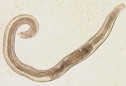 Féregpete és protozoon kimutatás mikroszkópos vizsgálattal