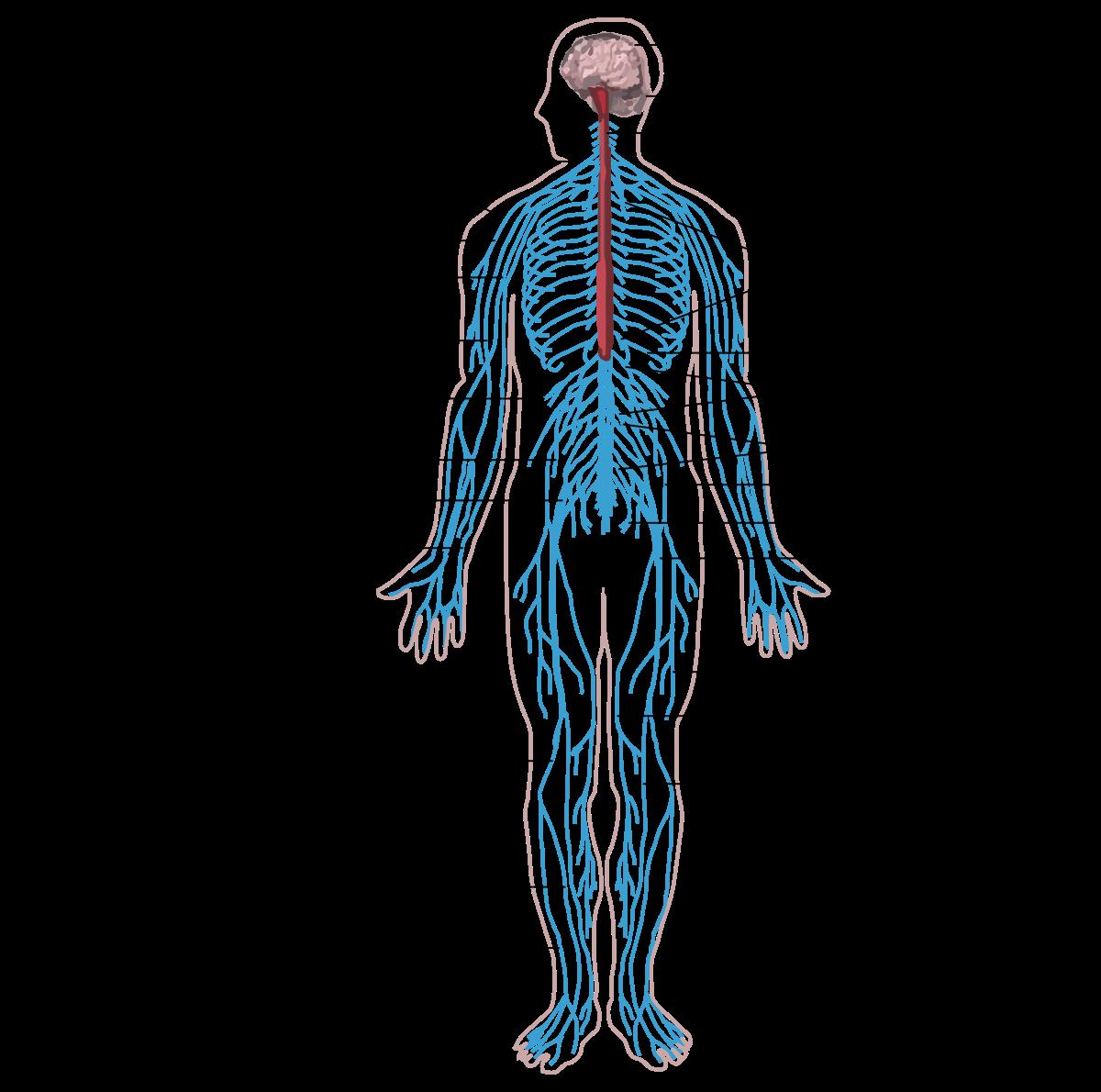 férgeket mutatnak az emberi testben