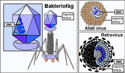 papilloma vírusdefiníció biológia a papillómák eltávolítására