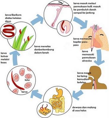 széles spektrumú paraziták az emberi testben emberi papillómák a nők kezelésében