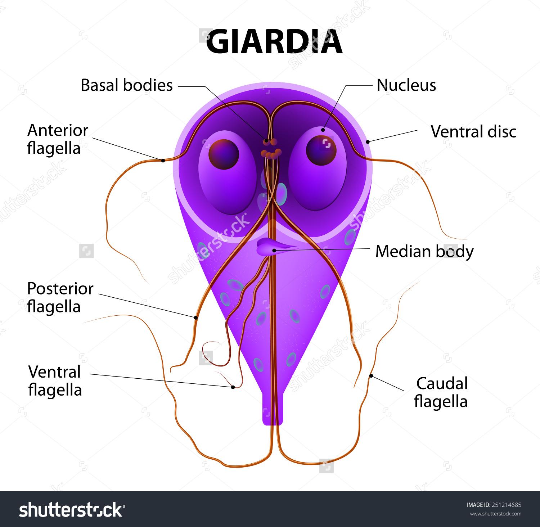Giardia protozoa