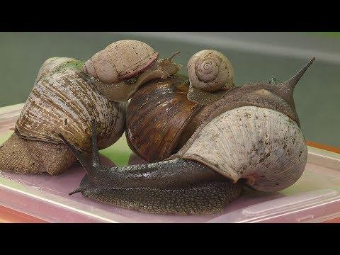 csigák kezelésére szolgáló férgek