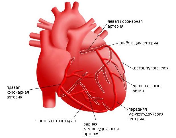 Aorta (aorta-ív, hasi, mellkasi, szerkezet és funkció)