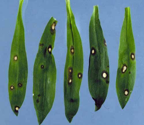 Helminthosporium echinulatum