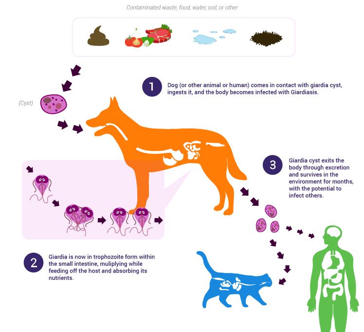 Wat is giardia bij mensen. Giardia - wat is het? trypanosoma leishmania paraziták
