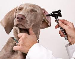 Papillomatosis kezelésére szolgáló kutyák. Tartalomjegyzék