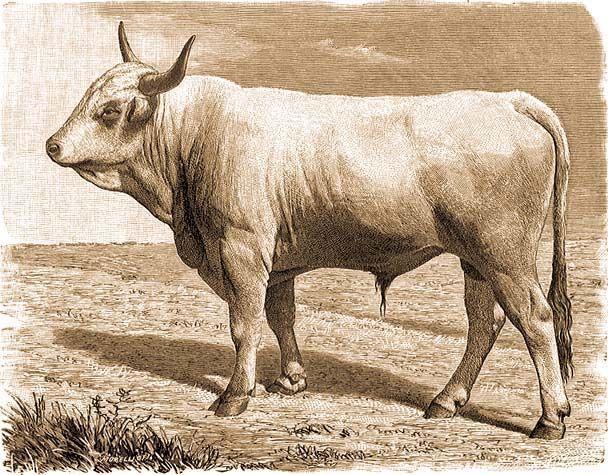 a bika testének alakja és mérete)