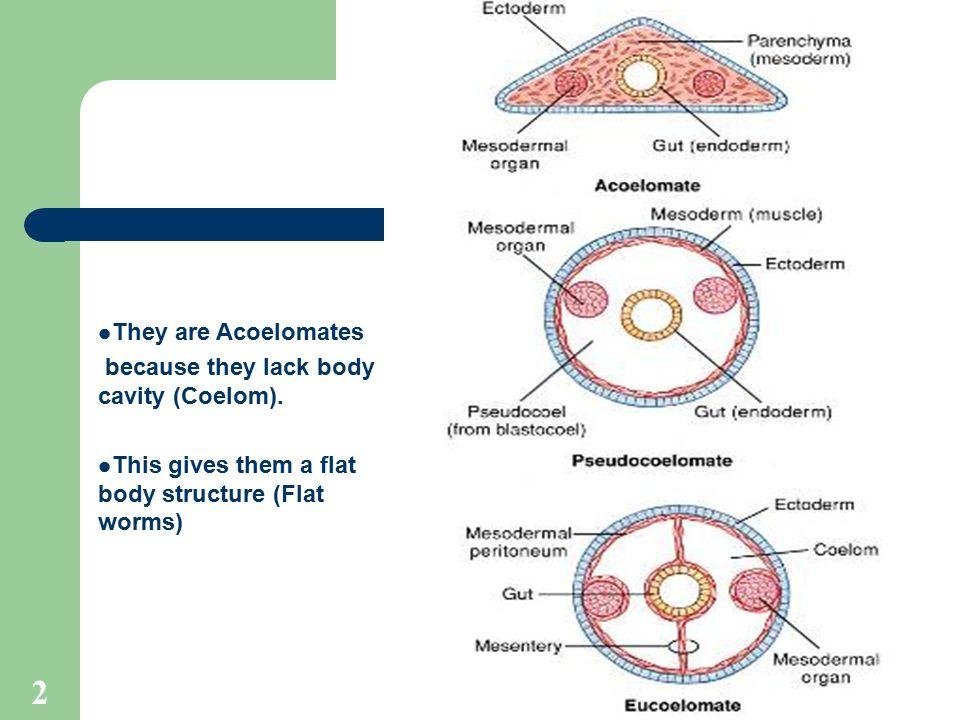 Az Acoelomate és a Coelomate közötti különbség - Platyhelminthes coelom