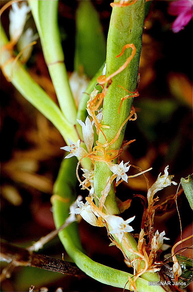 A szemgolyóban élő helminták - A paraziták hasonlóak