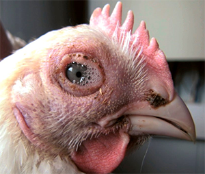 mikoplazmózis csirkék kezelésében)