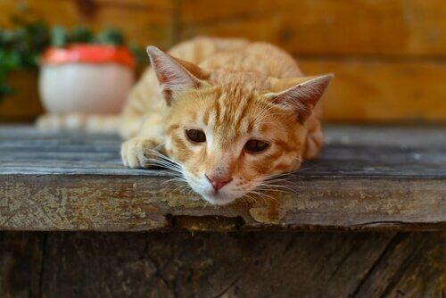 giardia paraziták kedi)