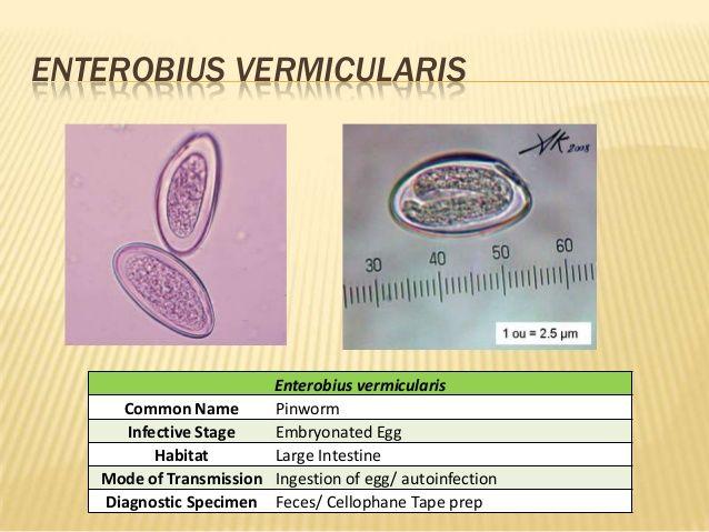 Az enterobiasis kezelésének ellenőrzése - Trichuriasis
