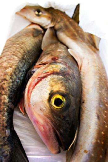 féreg a halakban)