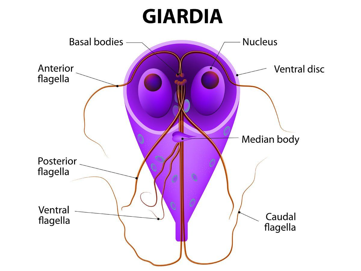 Az amoebiasis, giardiasis, trichomoniasis kezelésére használt gyógyszer - gal-kuria.hu