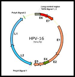 hpv életciklus-diagram