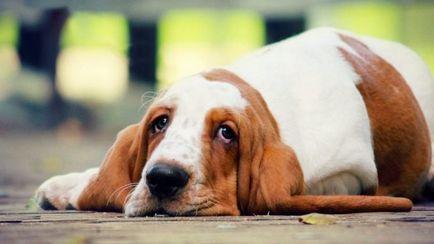 papilloma a kutyában