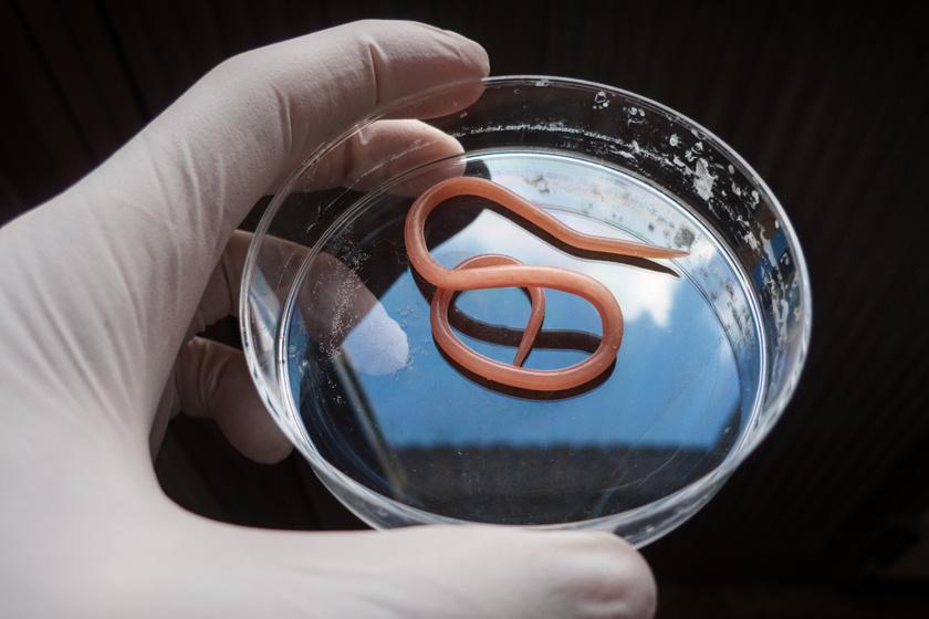 paraziták emberben a tévéműsorokban apoptotikus markerek protozoon parazitákban