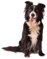 Deworming sheltie - 6 legjobb megoldás a férgek számára a kutyák számára - Védőoltások March
