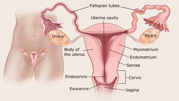 humán papillomavírus vakcina három Ascaris kezelés szoptatáshoz